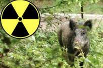 TCHERNOBYL – Des sangliers toujours radioactifs en Allemagne